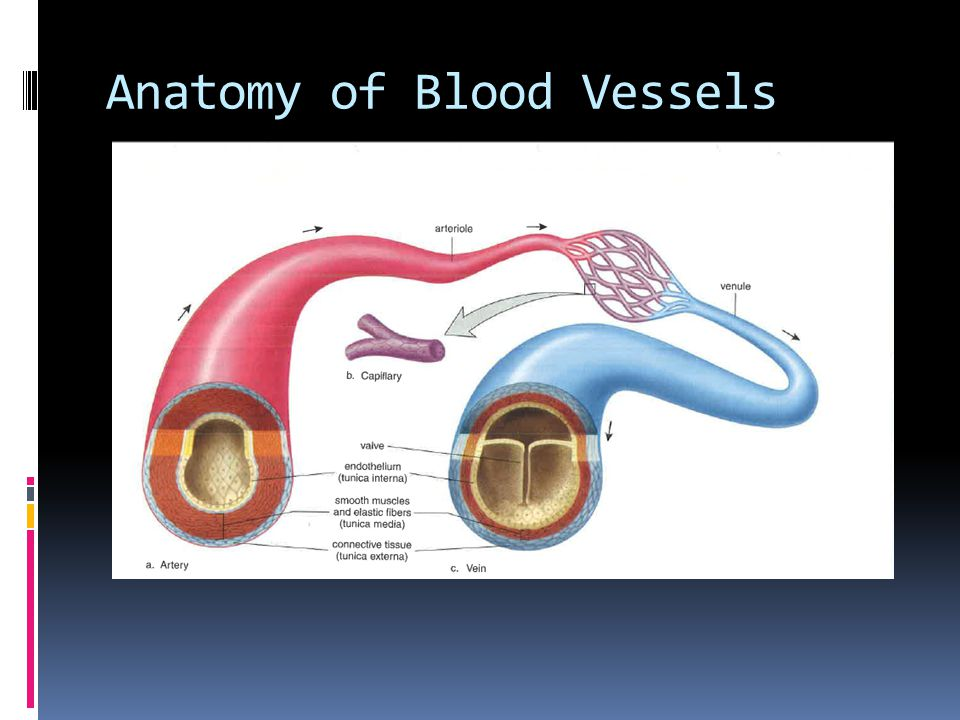 Anatomy of Blood Vessels