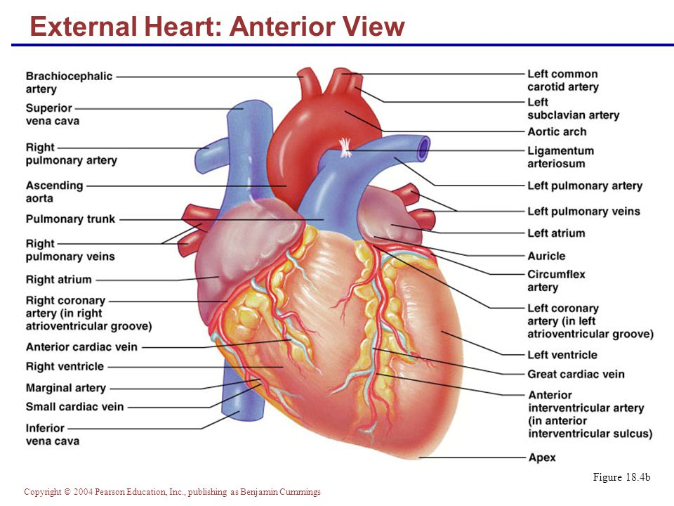 External Heart: Anterior View