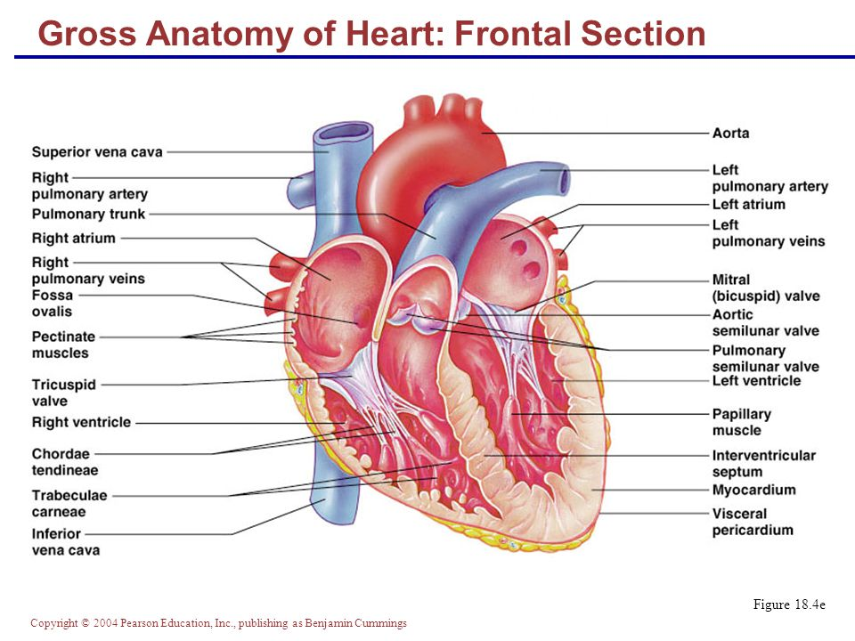 Gross Anatomy of Heart: Frontal Section