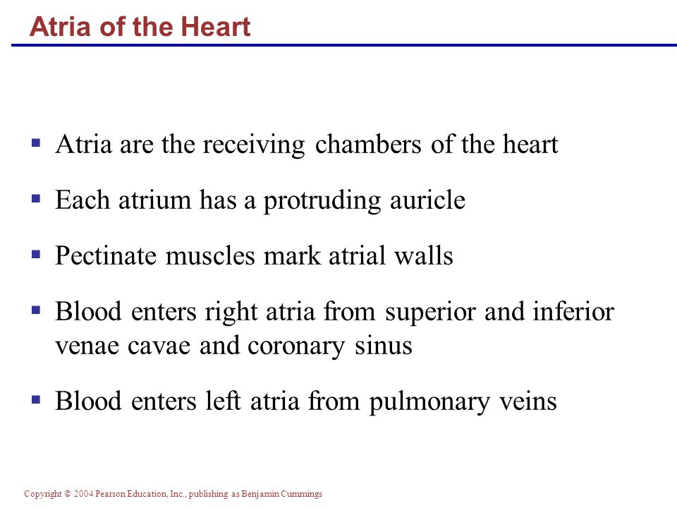Atria are the receiving chambers of the heart