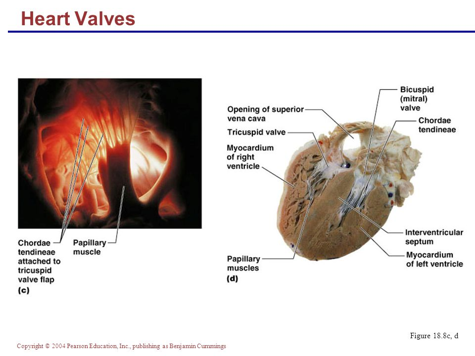 Heart Valves Figure 18.8c, d