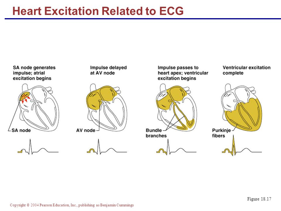 Heart Excitation Related to ECG