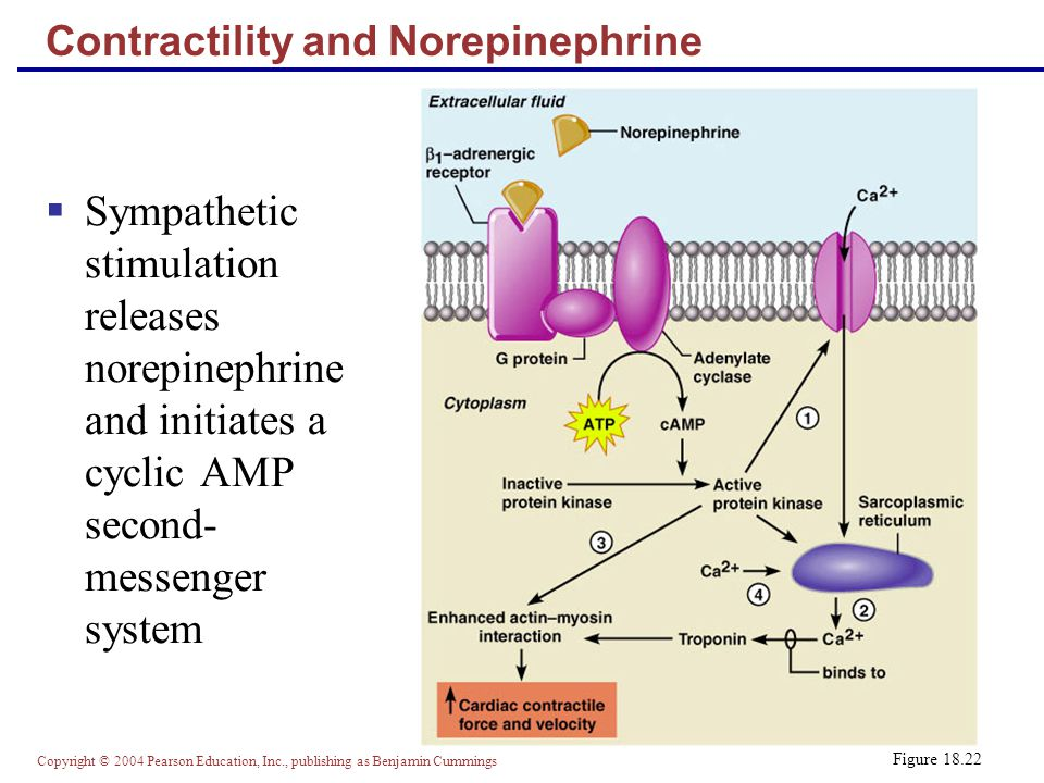 Contractility and Norepinephrine
