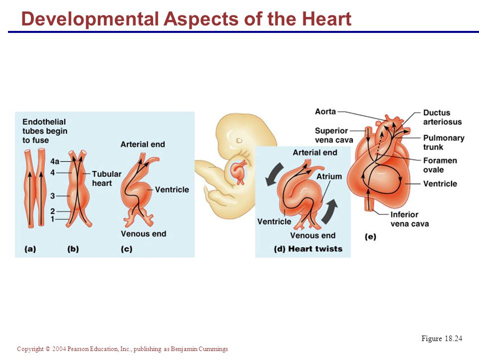 Developmental Aspects of the Heart