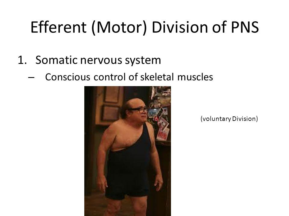 Efferent (Motor) Division of PNS