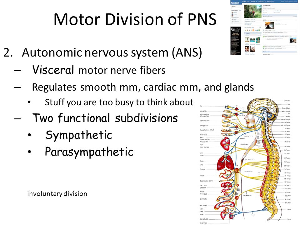 Motor Division of PNS Autonomic nervous system (ANS)