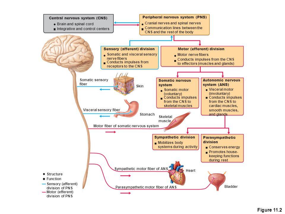 Figure 11.2 Central nervous system (CNS)