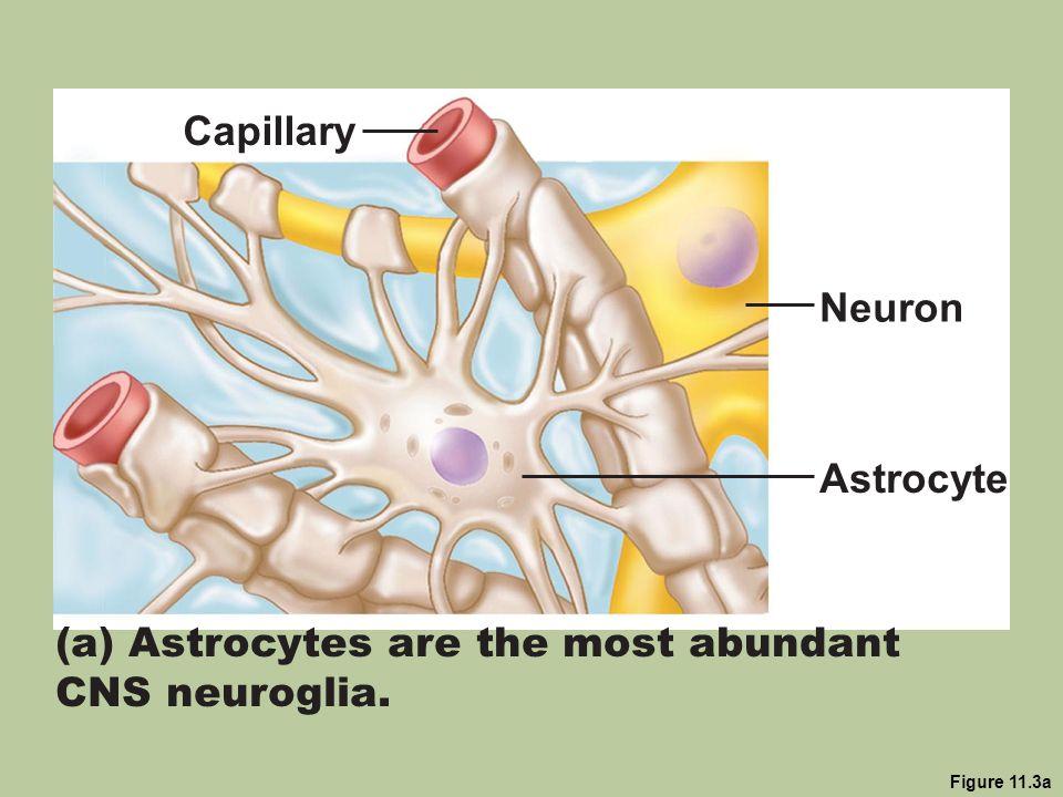 (a) Astrocytes are the most abundant CNS neuroglia.