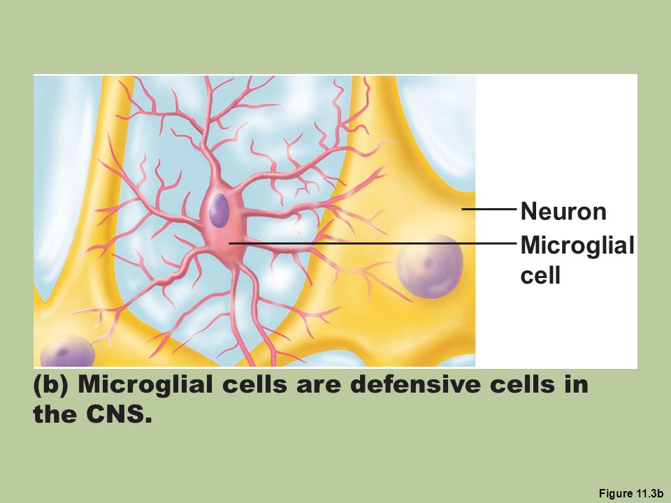 (b) Microglial cells are defensive cells in the CNS.