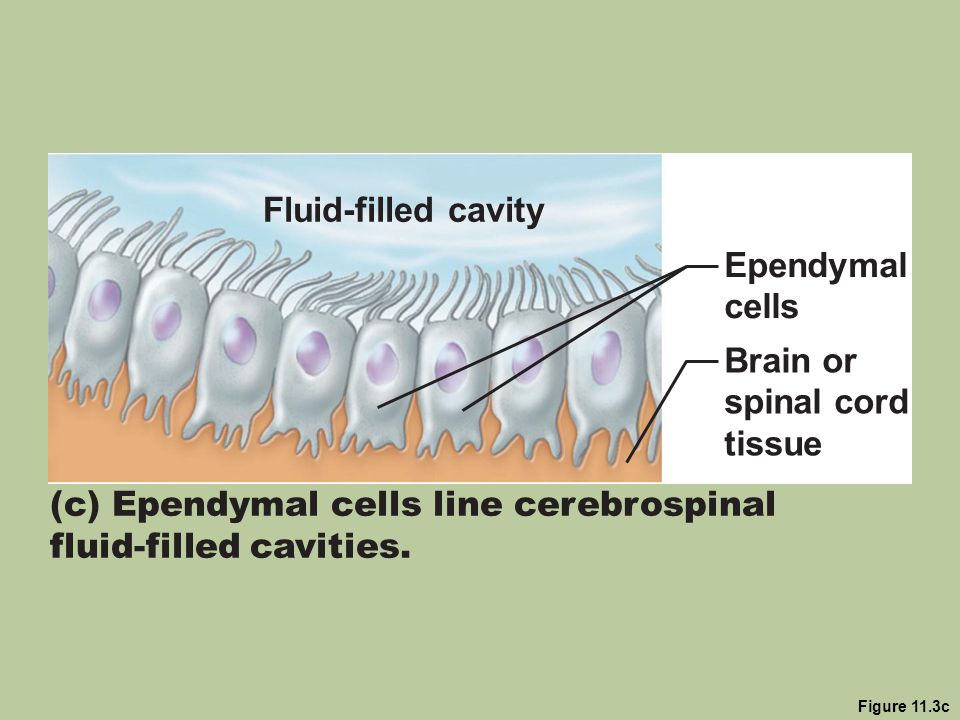 (c) Ependymal cells line cerebrospinal fluid-filled cavities.