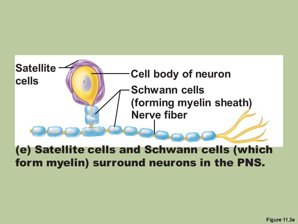 (forming myelin sheath)