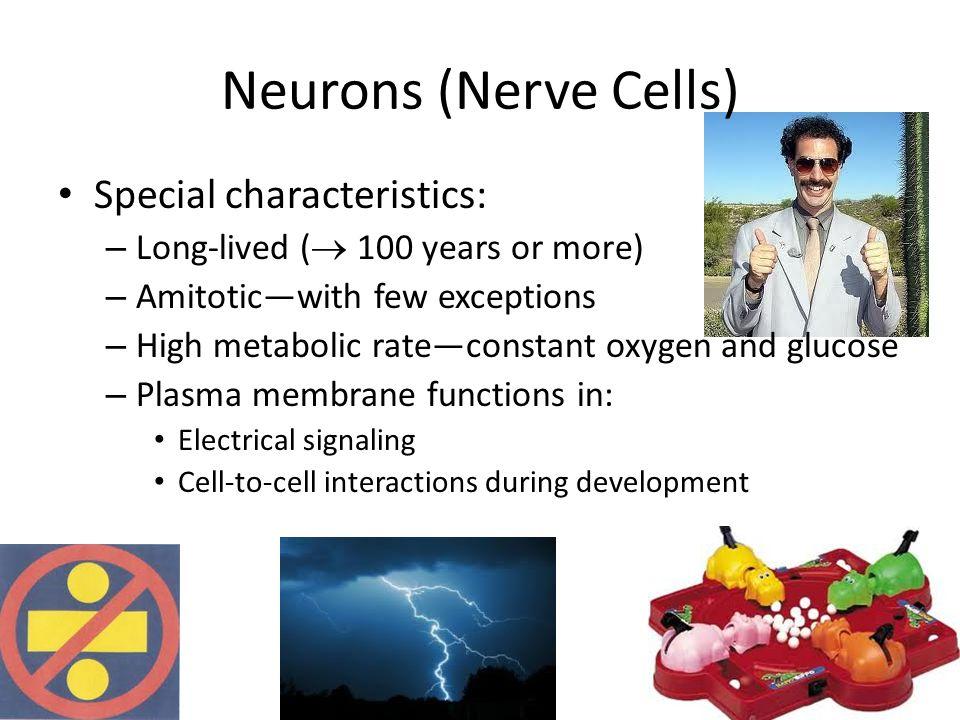 Neurons (Nerve Cells) Special characteristics: