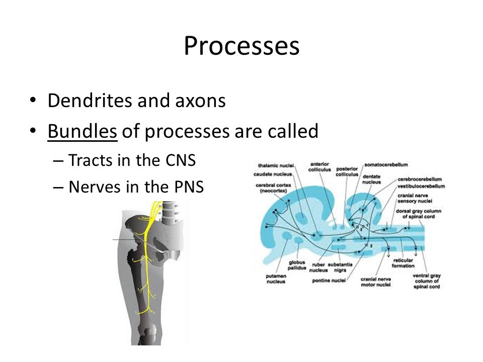 Processes Dendrites and axons Bundles of processes are called