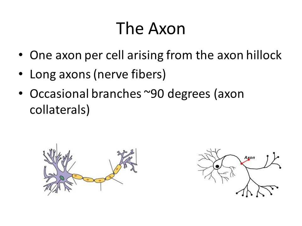 The Axon One axon per cell arising from the axon hillock