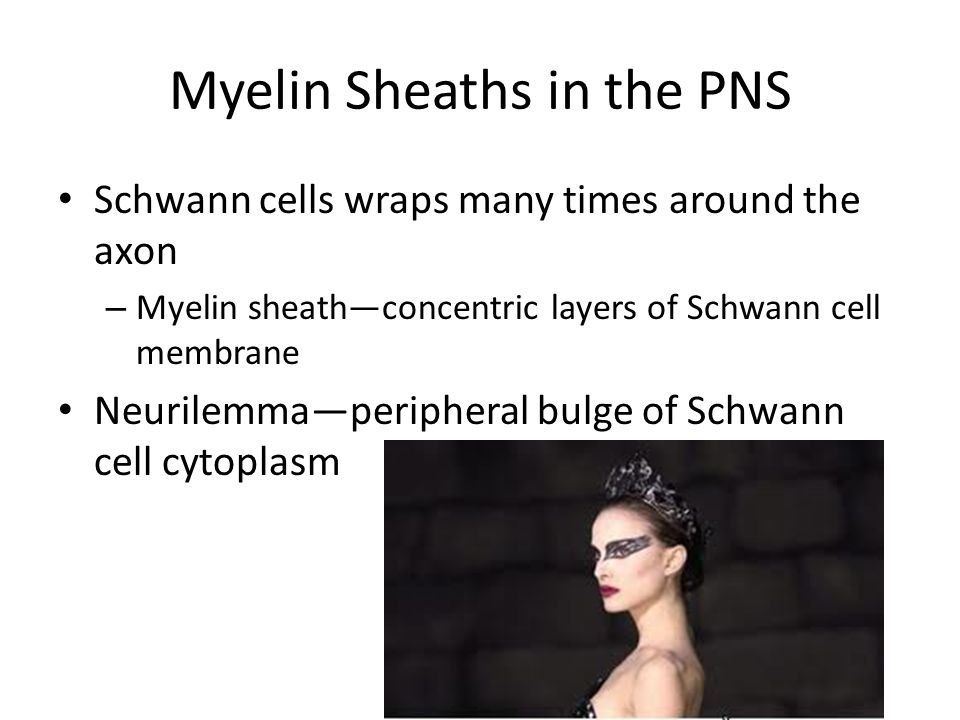 Myelin Sheaths in the PNS