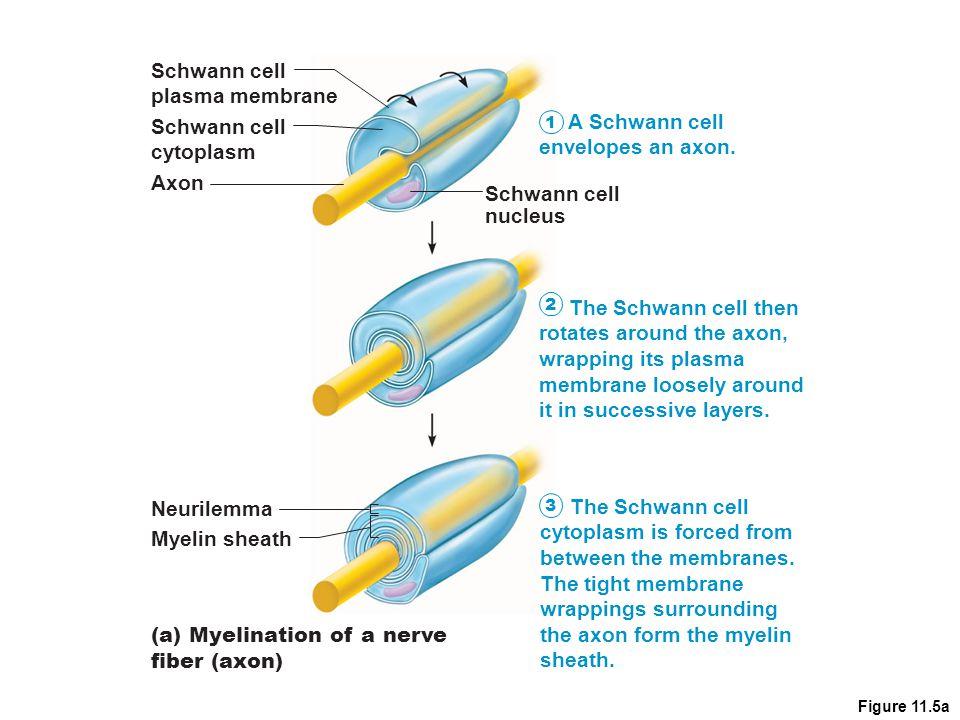 rotates around the axon, wrapping its plasma membrane loosely around
