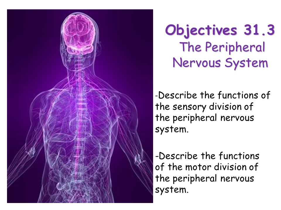 Objectives 31.3 The Peripheral Nervous System