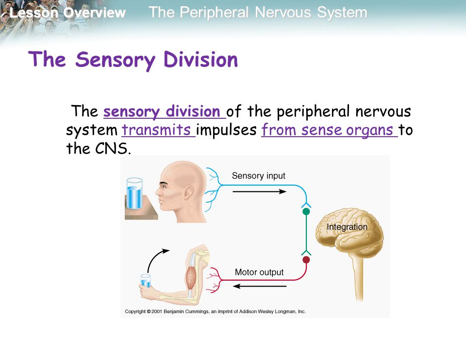 The Sensory Division The sensory division of the peripheral nervous system transmits impulses from sense organs to the CNS.