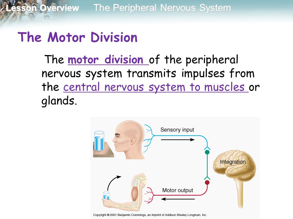 The Motor Division The motor division of the peripheral nervous system transmits impulses from the central nervous system to muscles or glands.