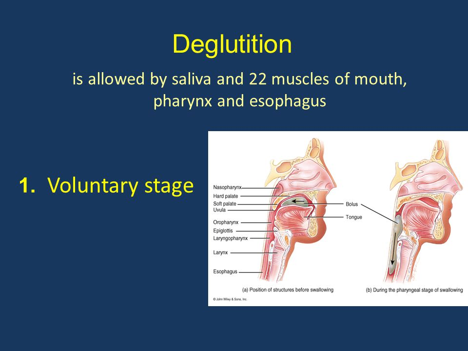 is allowed by saliva and 22 muscles of mouth, pharynx and esophagus