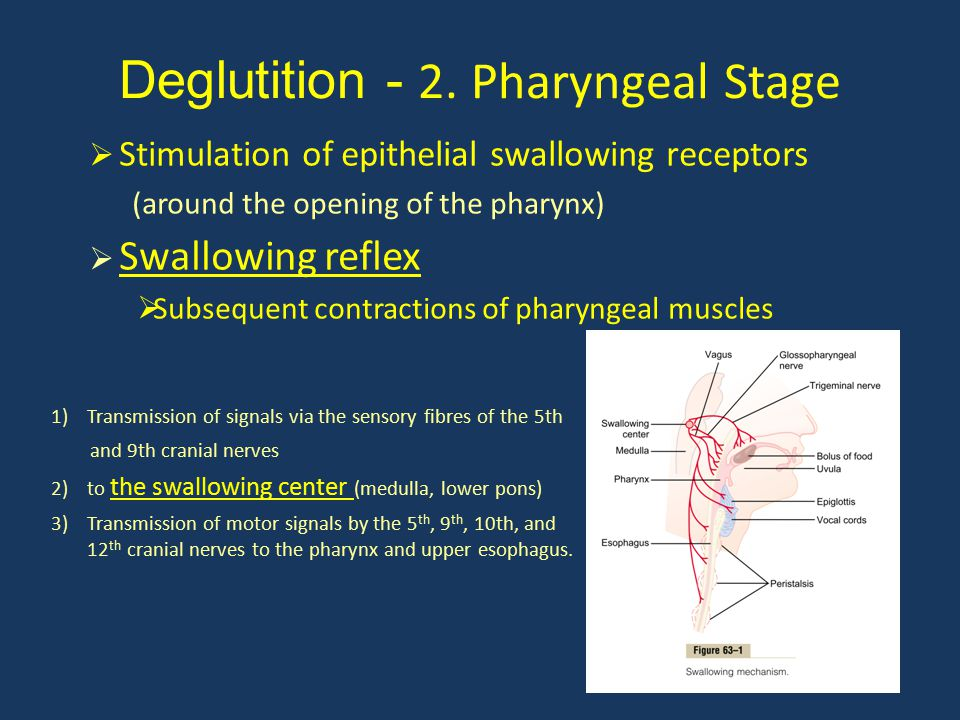 Deglutition - 2. Pharyngeal Stage