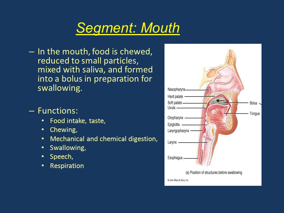 Segment: Mouth In the mouth, food is chewed, reduced to small particles, mixed with saliva, and formed into a bolus in preparation for swallowing.