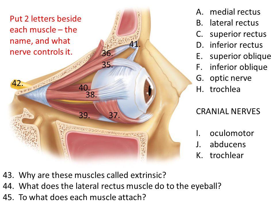 medial rectus lateral rectus. superior rectus. inferior rectus. superior oblique. inferior oblique.