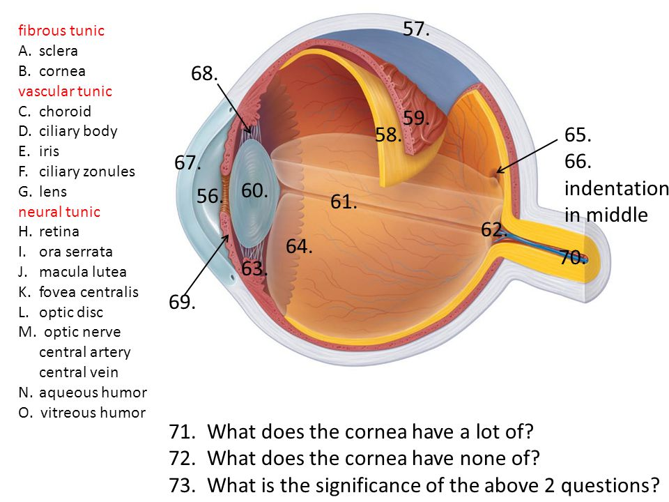71. What does the cornea have a lot of