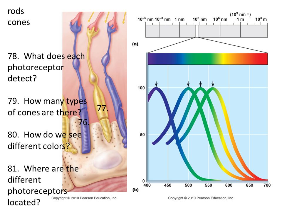 rods cones. 78. What does each photoreceptor detect 79. How many types of cones are there 80. How do we see different colors