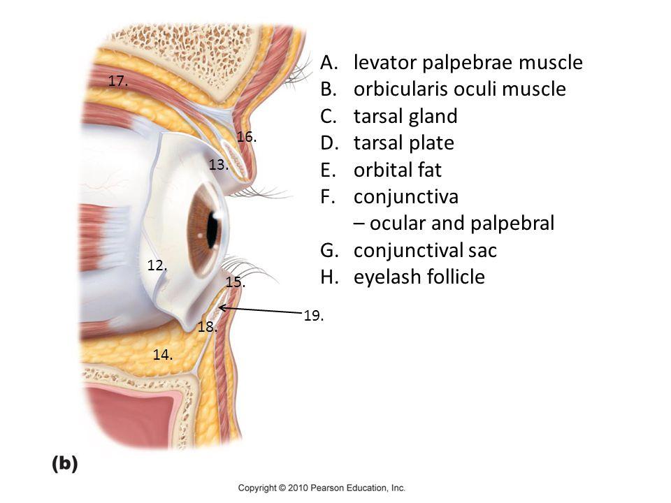 levator palpebrae muscle orbicularis oculi muscle tarsal gland