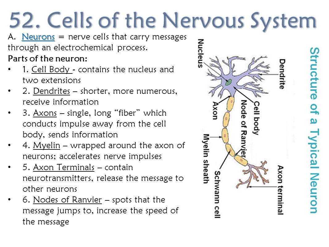 52. Cells of the Nervous System