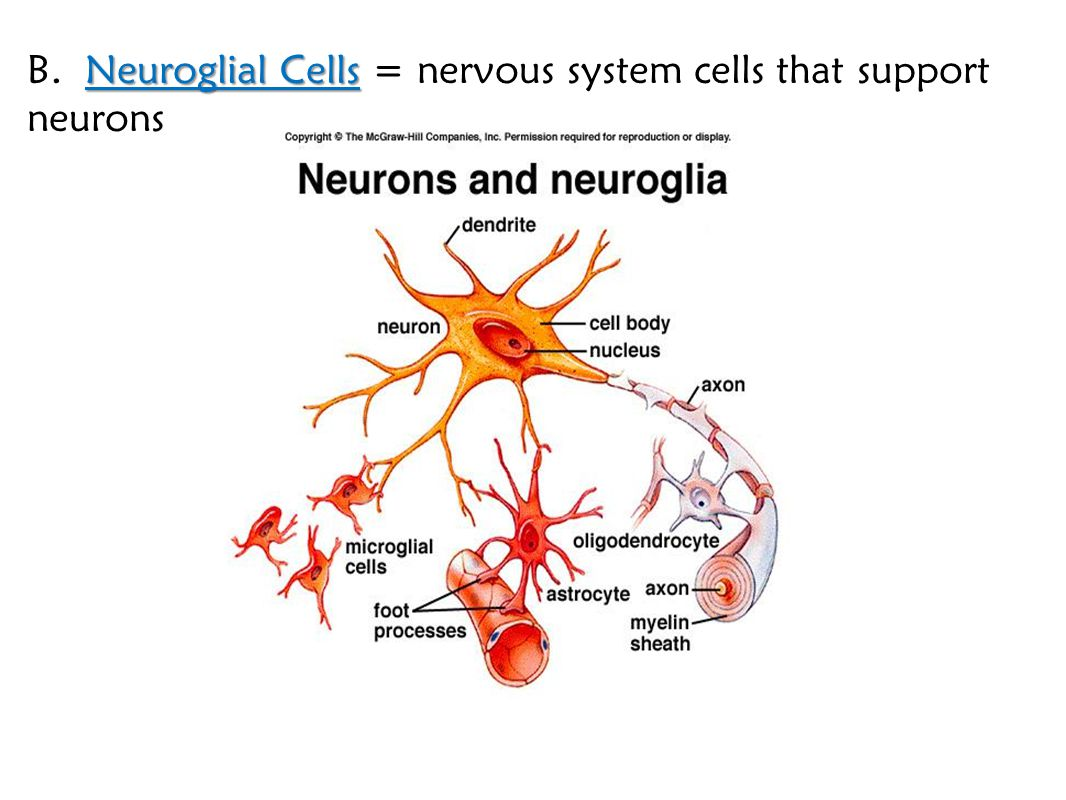 B. Neuroglial Cells = nervous system cells that support neurons