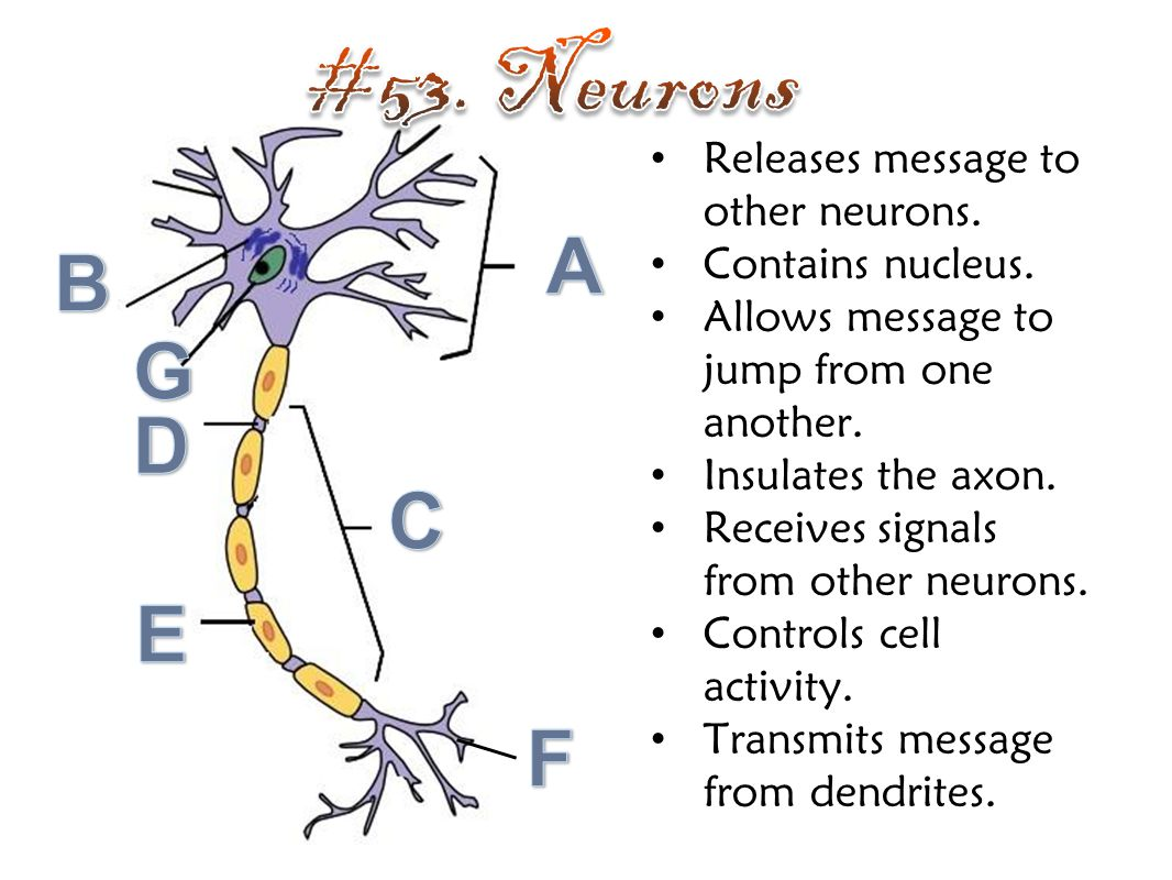 #53. Neurons A B G D C E F Releases message to other neurons.