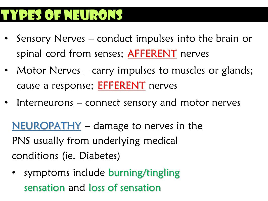 Types of Neurons Sensory Nerves – conduct impulses into the brain or spinal cord from senses; AFFERENT nerves.