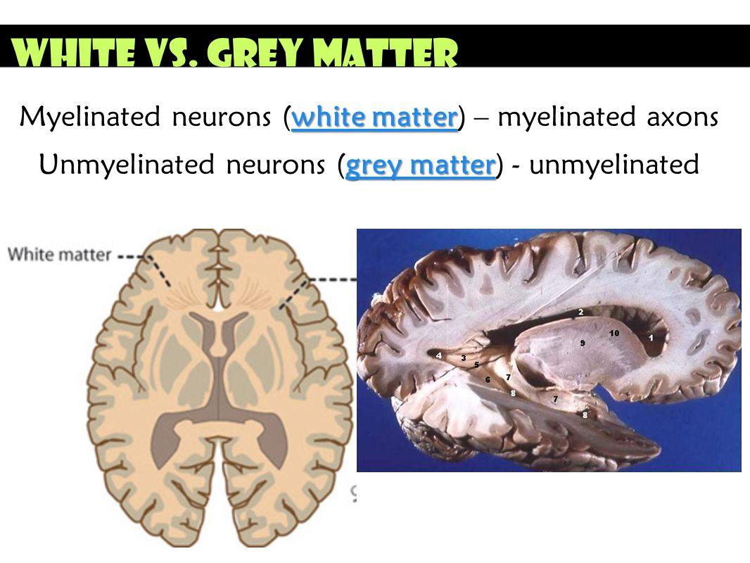 White vs. Grey Matter Myelinated neurons (white matter) – myelinated axons.