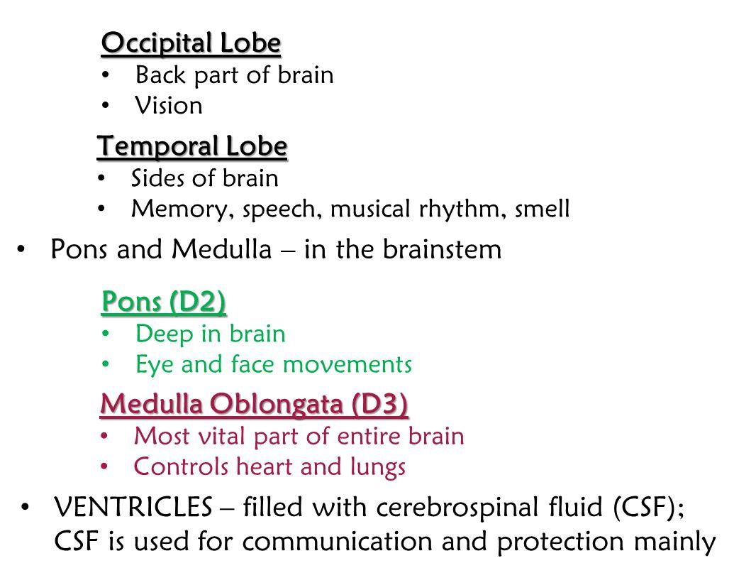 Pons and Medulla – in the brainstem