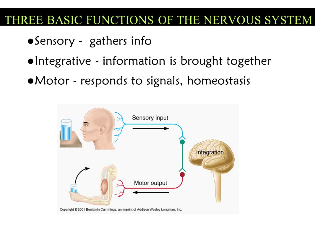THREE BASIC FUNCTIONS OF THE NERVOUS SYSTEM
