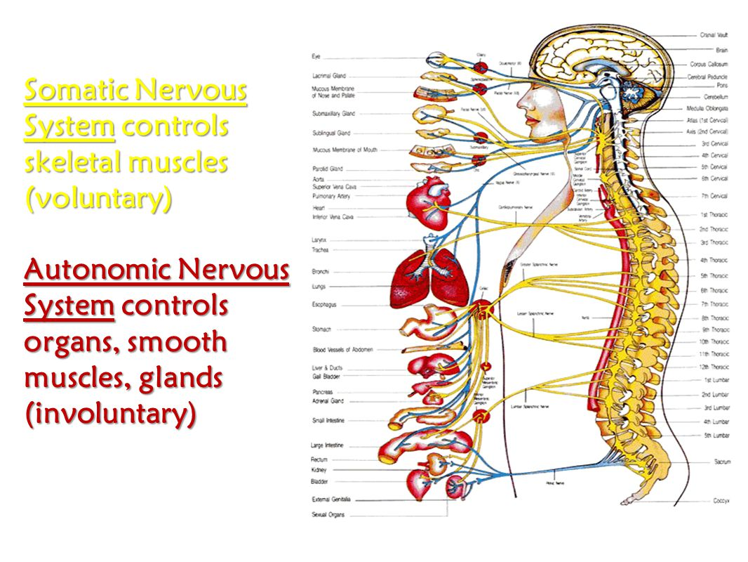 Somatic Nervous System controls skeletal muscles (voluntary)