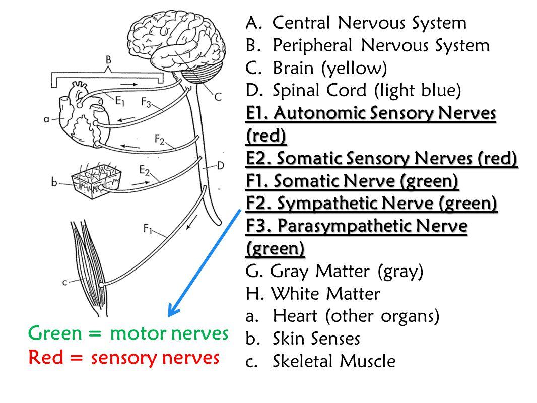 Green = motor nerves Red = sensory nerves Central Nervous System