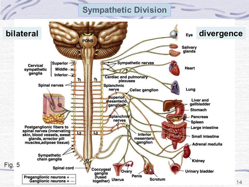 Sympathetic Division bilateral divergence