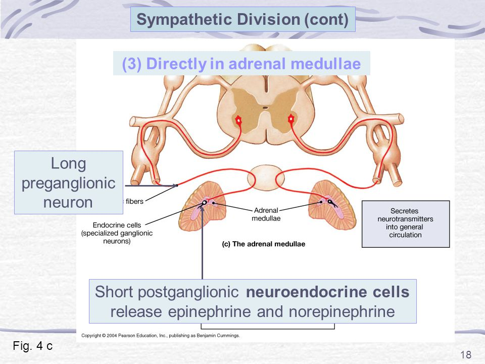 Sympathetic Division (cont) (3) Directly in adrenal medullae