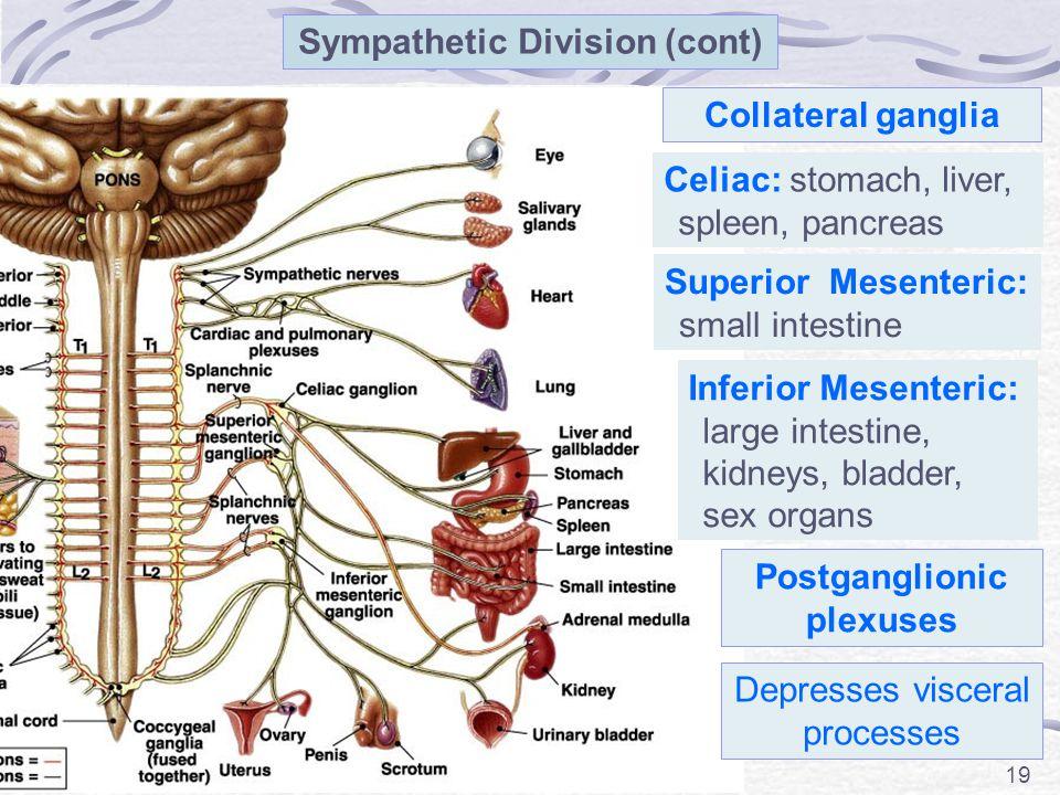 Sympathetic Division (cont) Postganglionic plexuses