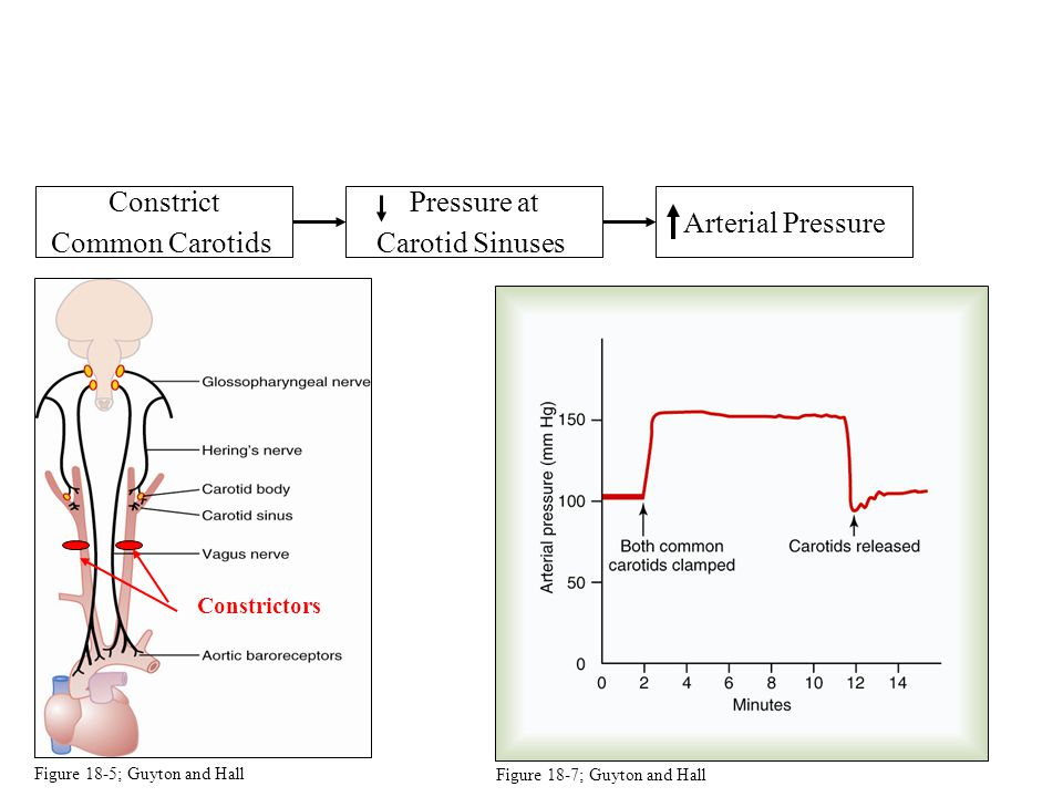 Constrict Common Carotids Pressure at Carotid Sinuses