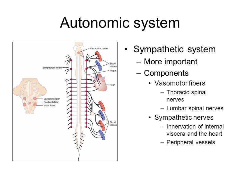 Autonomic system Sympathetic system More important Components