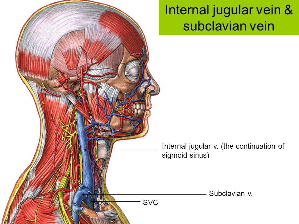 Internal jugular vein & subclavian vein