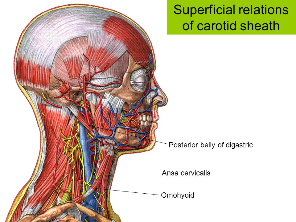 Superficial relations of carotid sheath