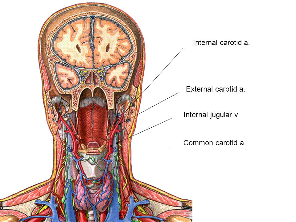 Internal carotid a. External carotid a. Internal jugular v Common carotid a.
