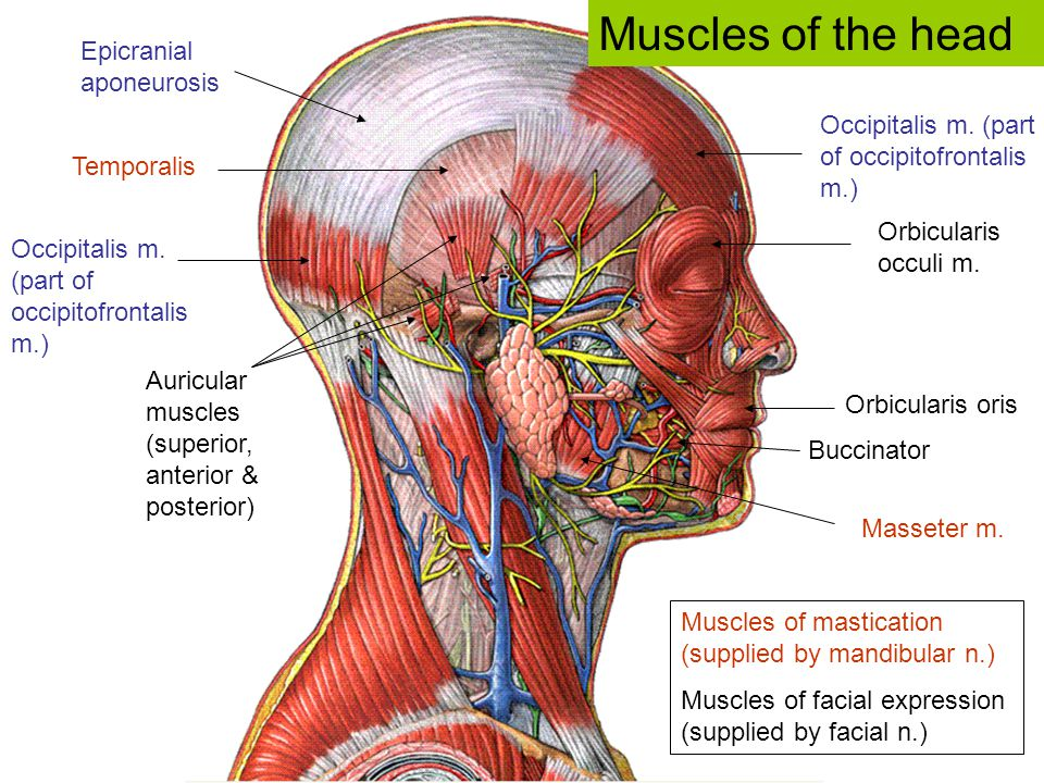 Muscles of the head Epicranial aponeurosis