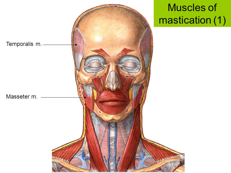 Muscles of mastication (1)