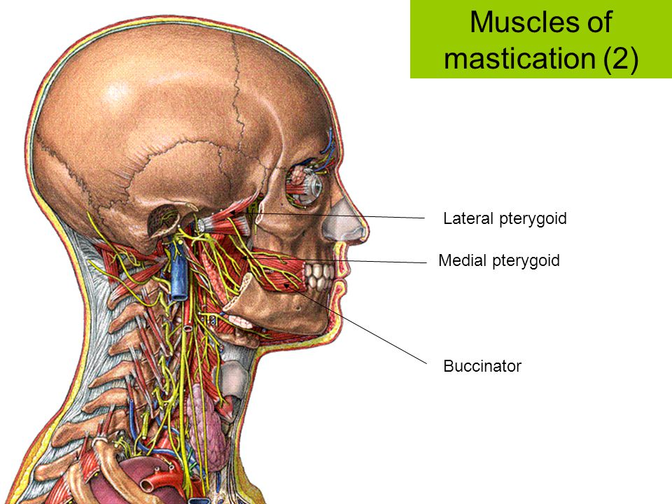 Muscles of mastication (2)